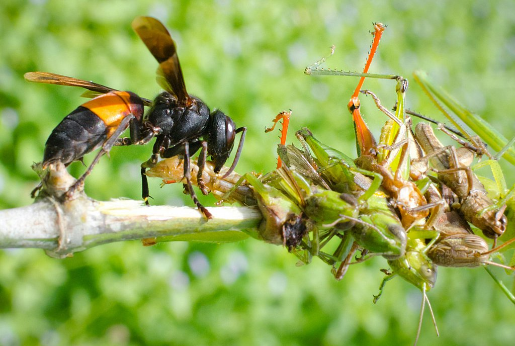 Luring a wasp with bait.