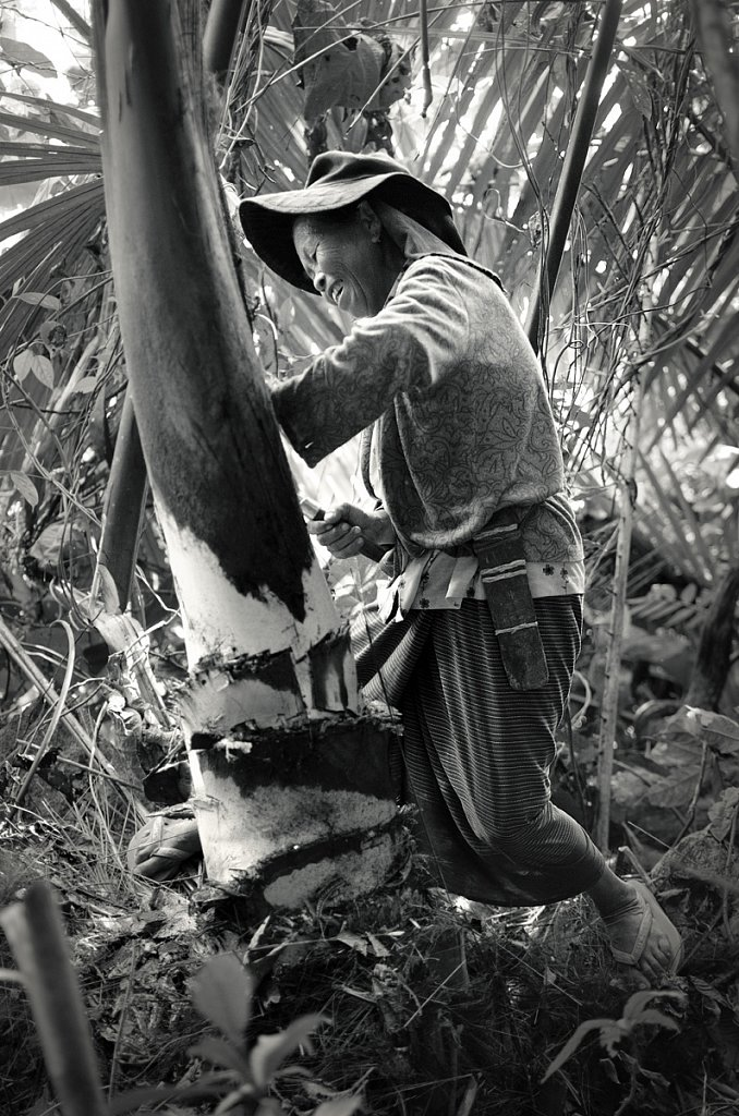 Harvesting palm hearts