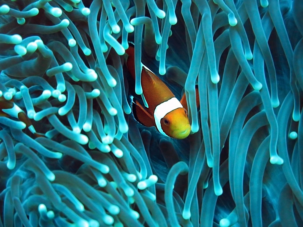 Clown fish / sea anemone at Pulau Menjangan reef