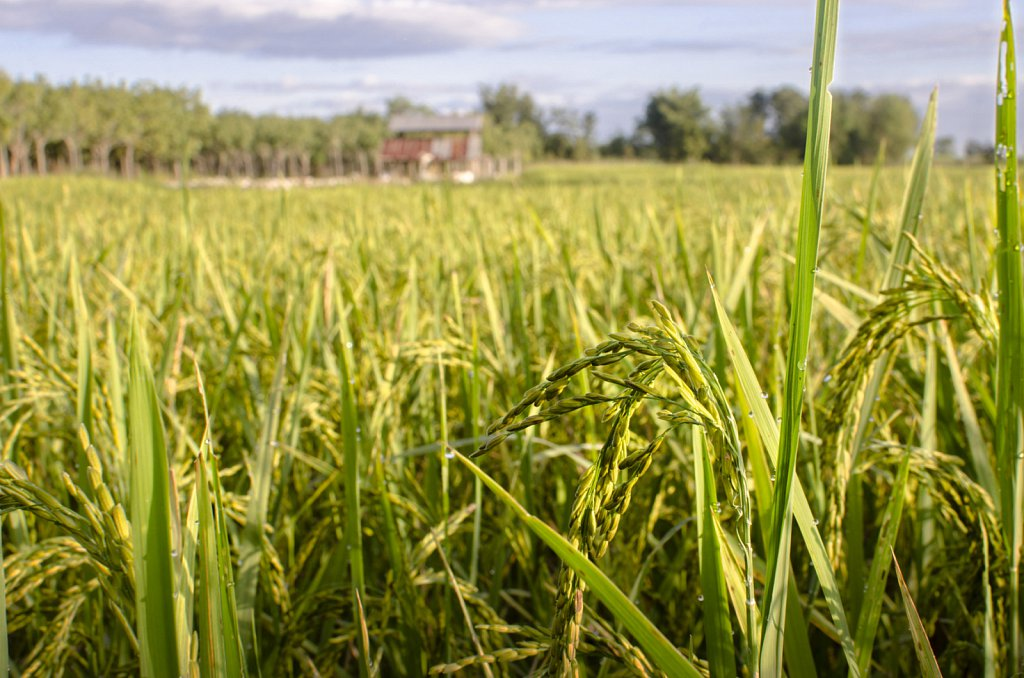 Rice field in November, East Thailand