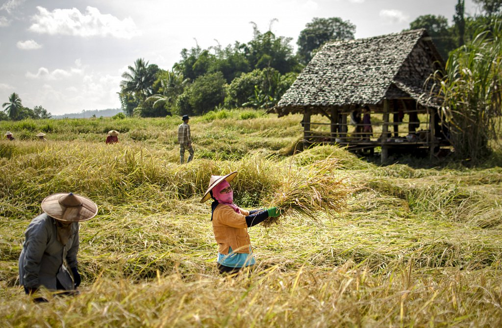 Harvesting rice in November, Mae Hong Son
