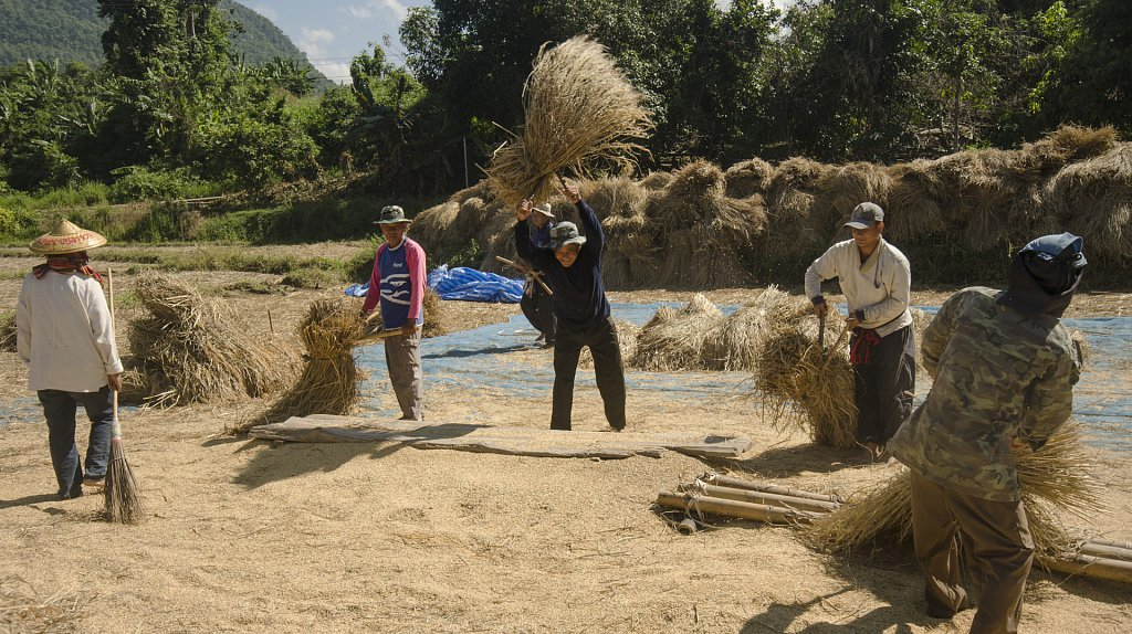 Thrashing of rice in November, Mae Hong Son