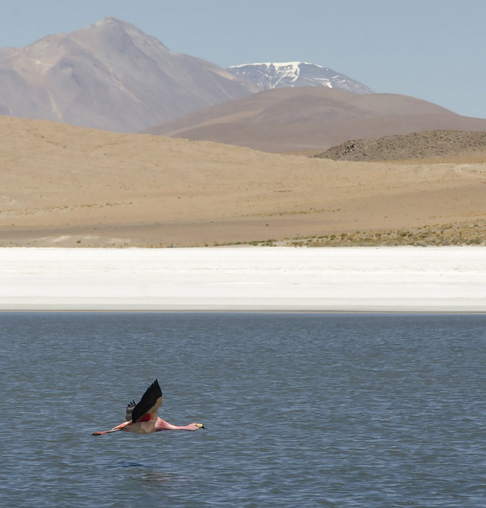 Flamingo in Altiplano, Bolivia