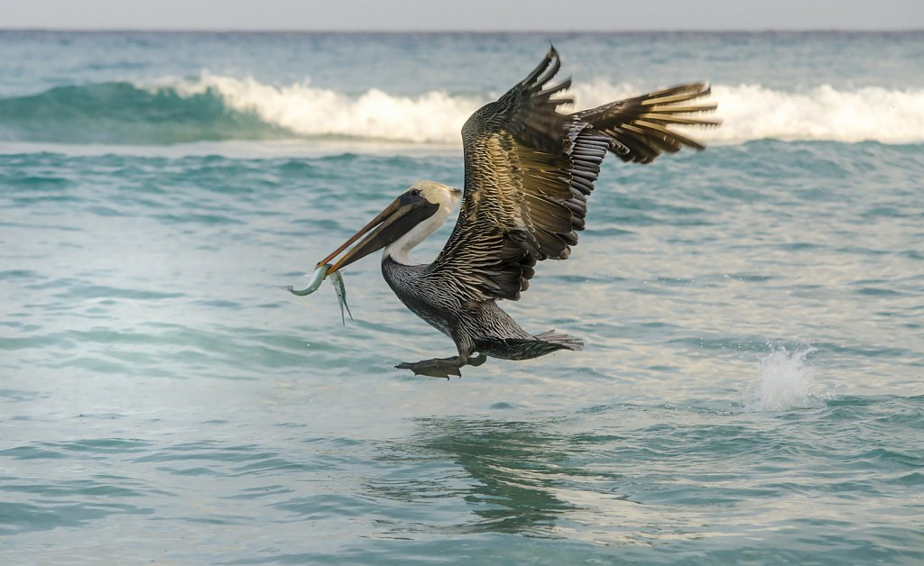 Pelican caught fish from waterat Varadero beach