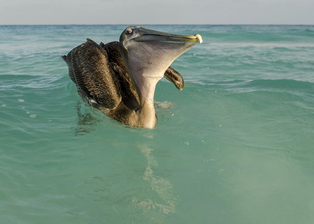 Pelican swallowing fish at Varadero beach