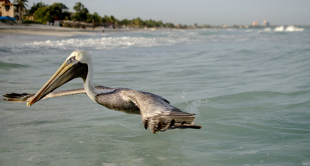 Pelican at Varadero beach