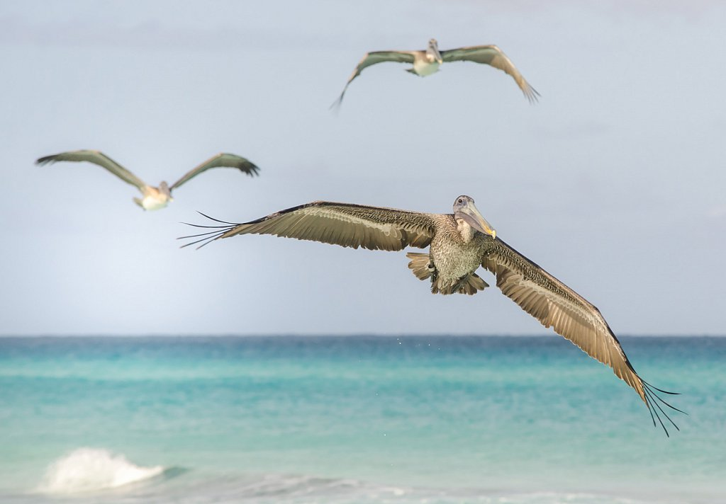 Pelicans at Varadero beach