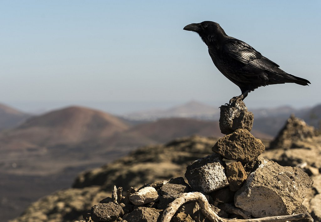 Raven at top of Caldera Blanca