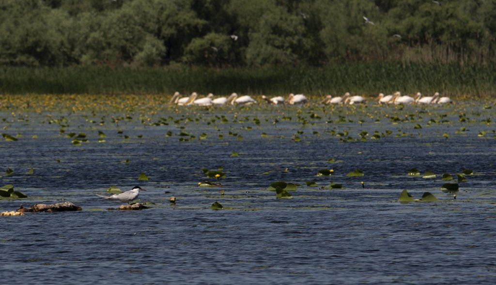 Lower Dniester National Park - Pelicans fishing in background