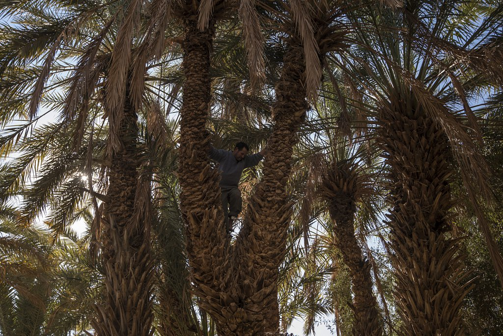 How to harvest date palms