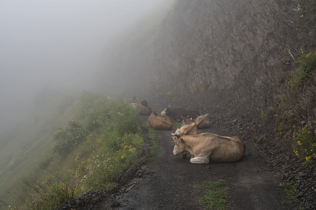 Cows like to sit on the roads